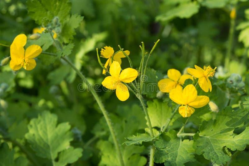 Fleurs jaunes de Chelidonium de celandine parmi le feuillage vert un jour ensoleill? chaud Plante m?dicinale avec des propri?t?s  photographie stock libre de droits