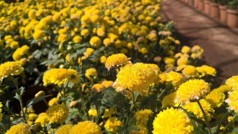 Fleurs jaunes de chrysanthèmes image libre de droits