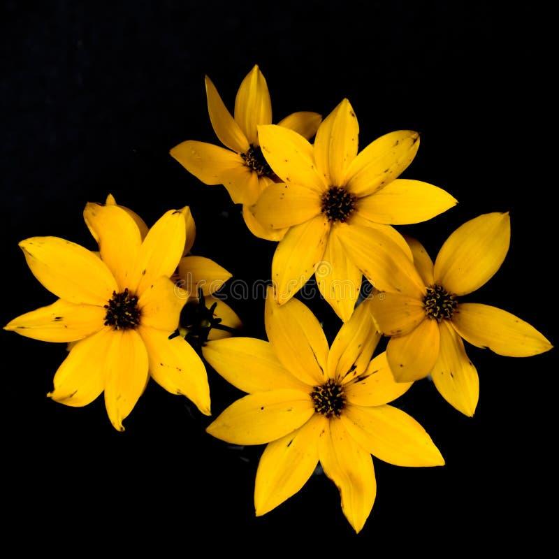 Fleurs jaunes de Coreopsis de prairie d'isolement sur le fond noir photos stock