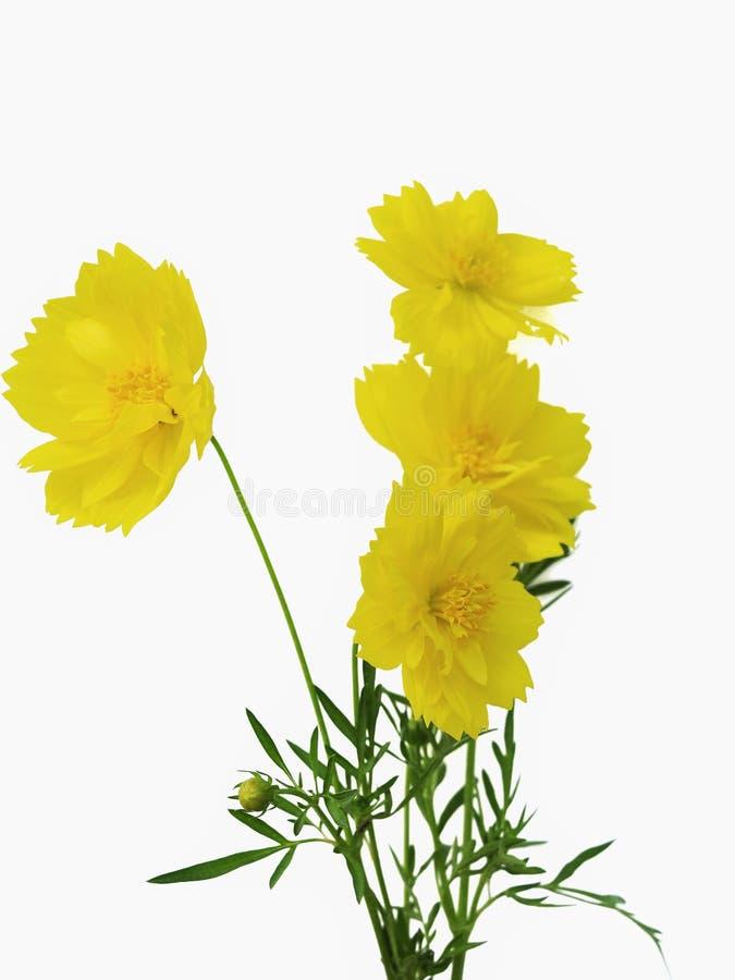 Fleurs jaunes de cosmos d'isolement sur le fond blanc photographie stock