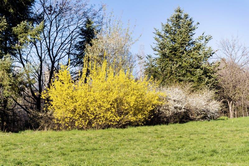 Fleurs jaunes de forsythia en parc de ressort images libres de droits