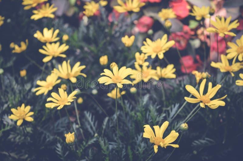 Fleurs jaunes de marguerite photos stock