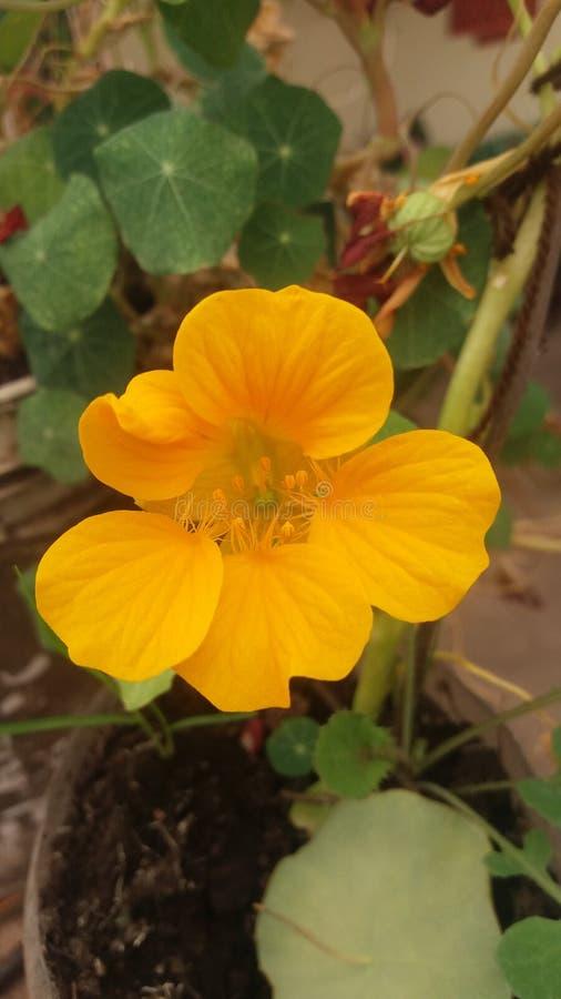 Fleurs jaunes de mon jardin images stock
