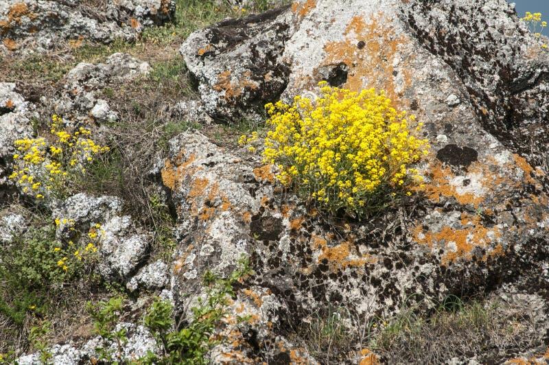 Fleurs jaunes de montagne sur la roche images libres de droits