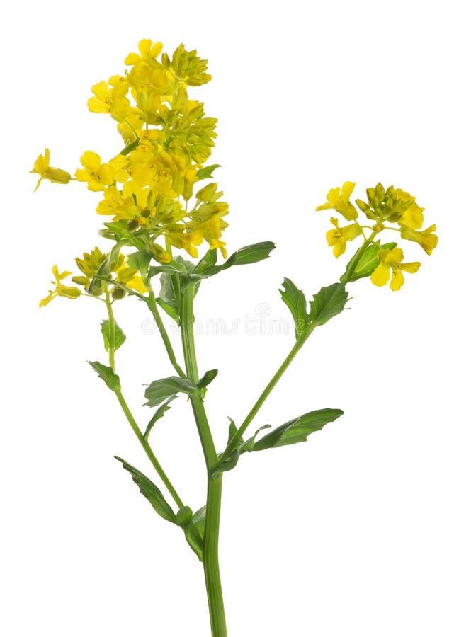 Fleurs jaunes de moutarde sauvage sur le blanc images stock
