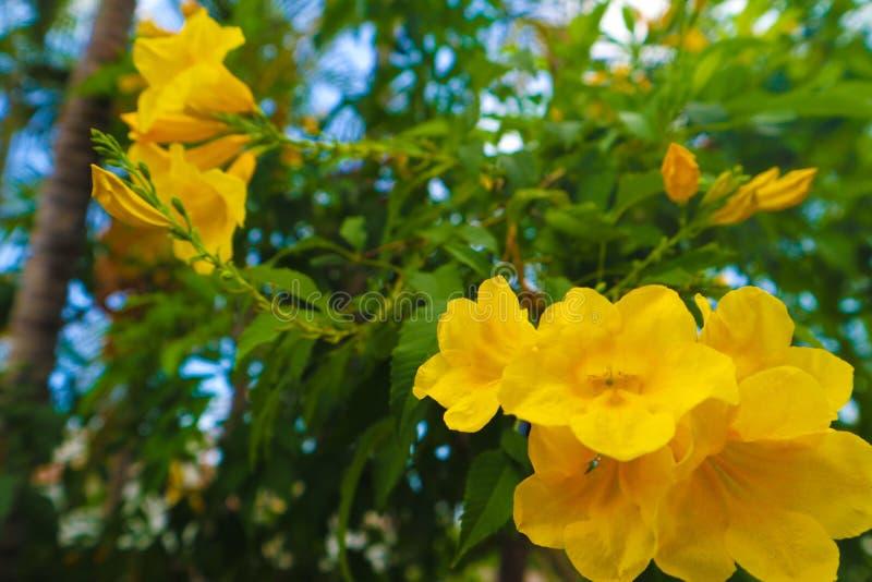 Fleurs jaunes de nid d'abeilles de belle couleur abstraite de texture dans le jardin de nature images libres de droits