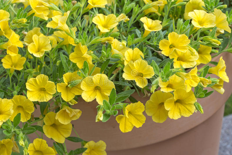 fleurs jaunes de p tunia p tunia photo stock image du couleur jaune 32289008. Black Bedroom Furniture Sets. Home Design Ideas