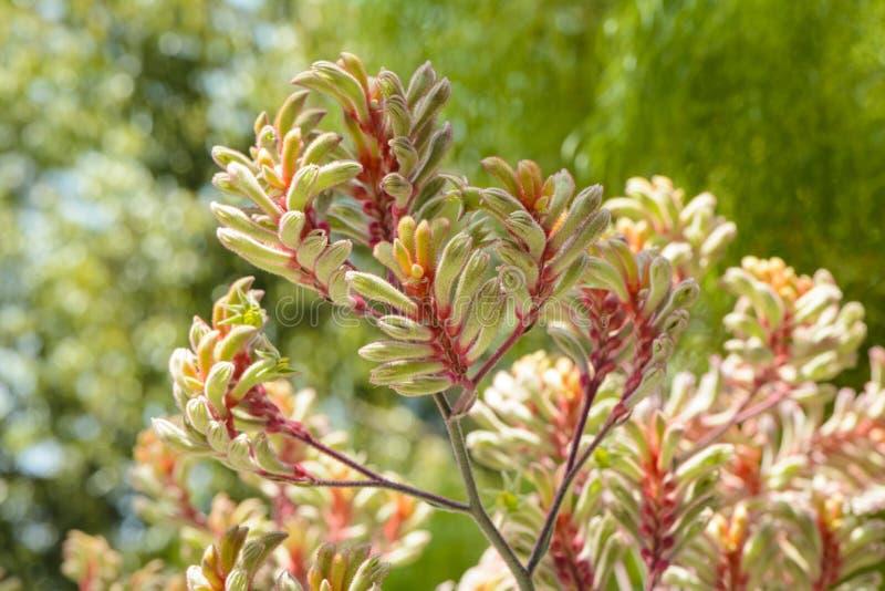 Fleurs, Patte De Kangourou, Australienne Image stock ...