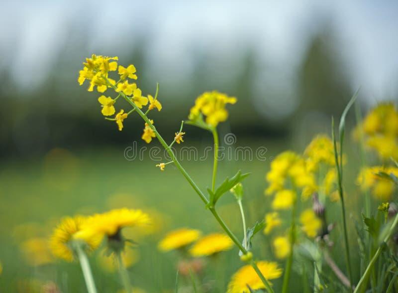 Fleurs jaunes de pissenlit avec les feuilles et l'herbe avec un fond brouillé des arbres photographie stock libre de droits