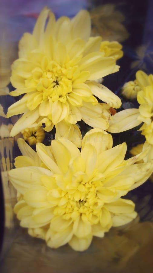 Fleurs jaunes de scintillement photo stock