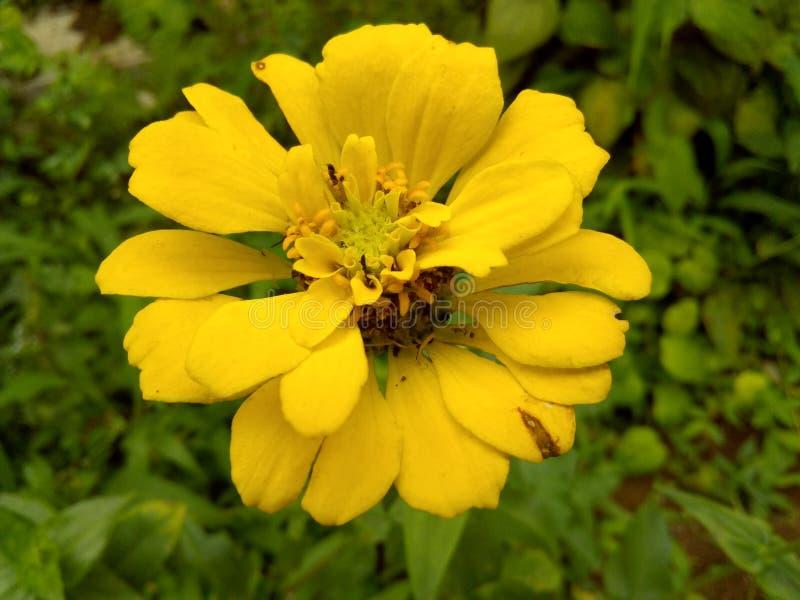 Fleurs jaunes de Sri Lanka photos libres de droits