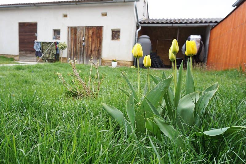 Fleurs jaunes de tulipe à un jardin avec le hangar à l'arrière-plan images stock