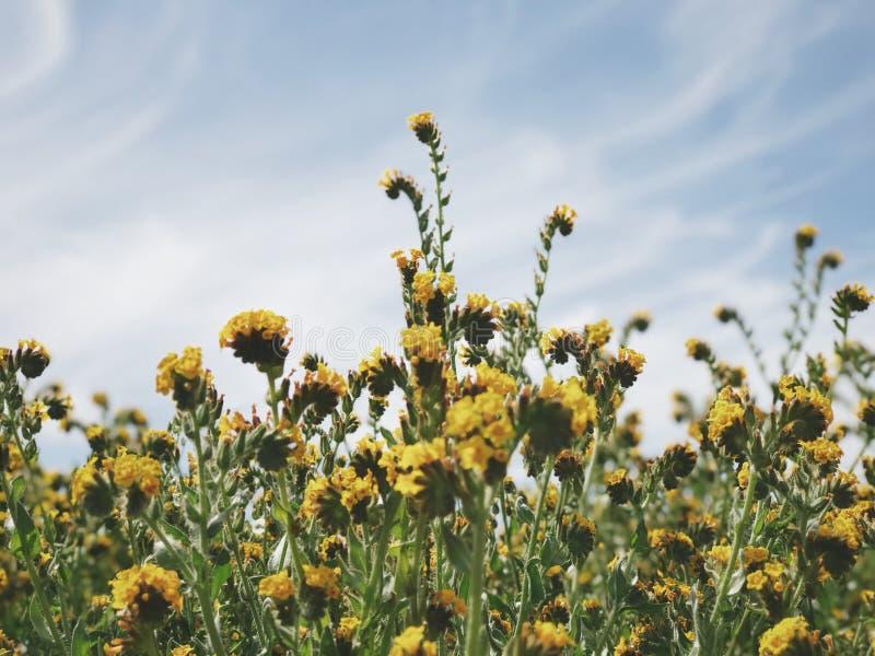Fleurs jaunes de zone photographie stock