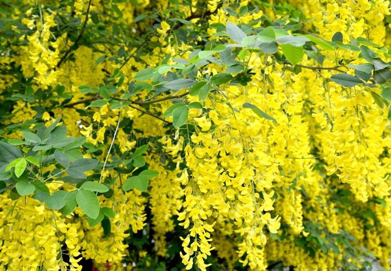 Fleurs jaunes des anagyroides d'or Medik d'un cytise de douche Fond photo libre de droits