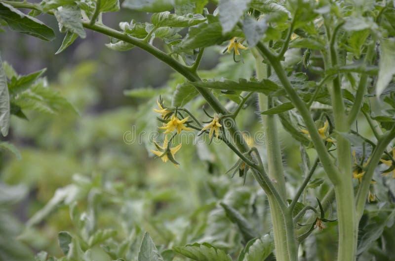 Fleurs jaunes des tomates de floraison prêtes pour la pollinisation en serre chaude Fleurs de tomate sur la tige images stock