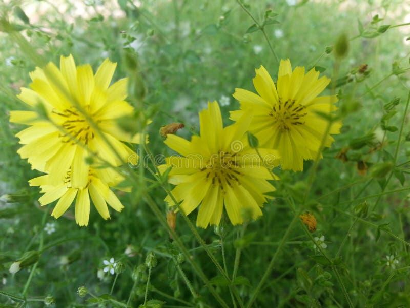 Fleurs jaunes entourées avec les feuilles vertes photos stock