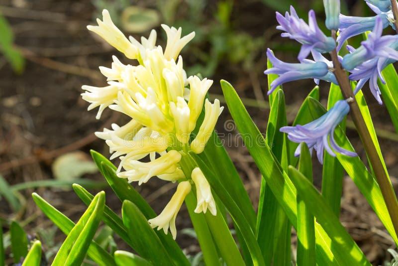 Fleurs jaunes et bleues de ressort photographie stock