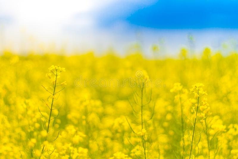 Fleurs jaunes et ciel bleu Paysage de ressort ou de champ de pré d'été photo stock