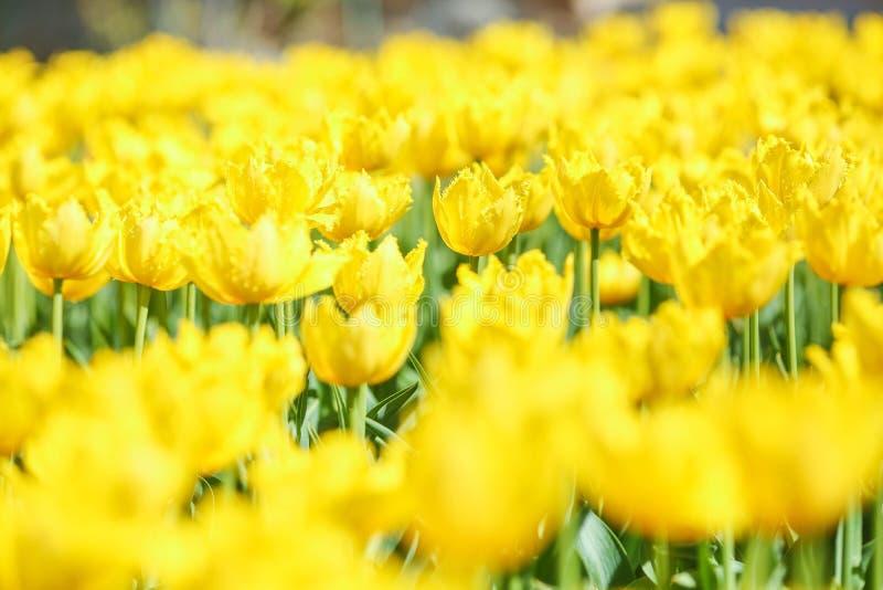 Fleurs jaunes fraîches de tulipe de ressort dans un domaine naturel image libre de droits