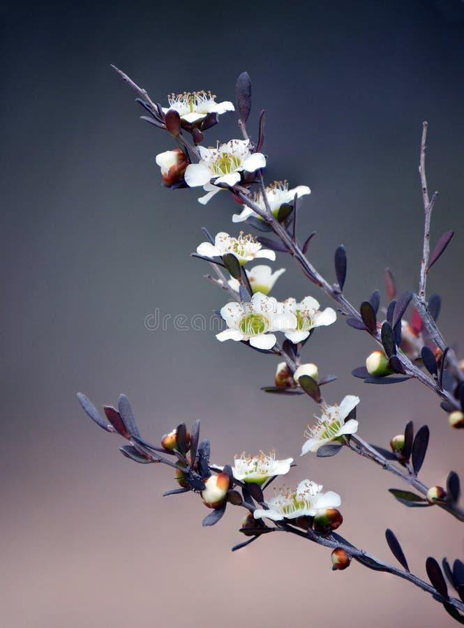 Fleurs jaunes indigènes australiennes d'arbre de thé image stock