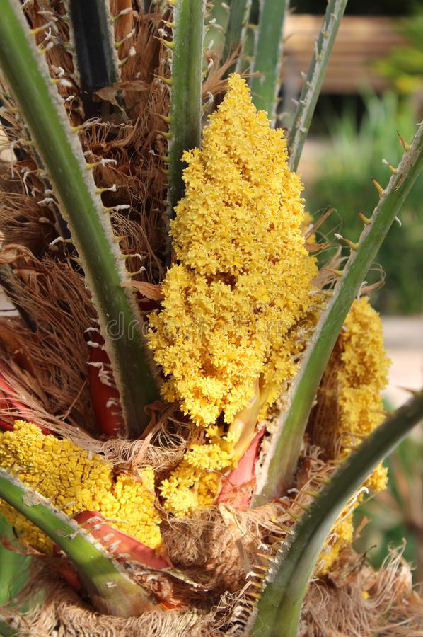 Fleurs jaunes japonaises de paume de sagou photo stock