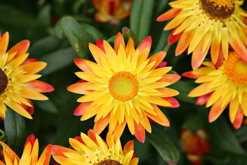 Fleurs jaunes lumineuses photo stock