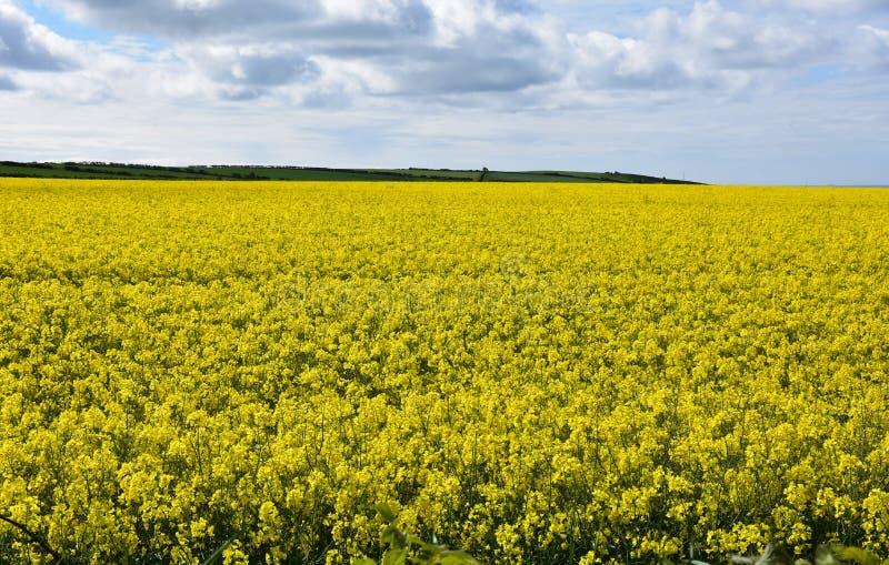 Fleurs jaunes lumineuses de graine de colza fleurissant dans un domaine photos stock