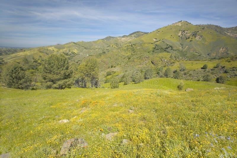 Fleurs jaunes lumineuses sur les collines vertes de ressort de la montagne de Figueroa près de Santa Ynez et de la visibilité dir photo libre de droits