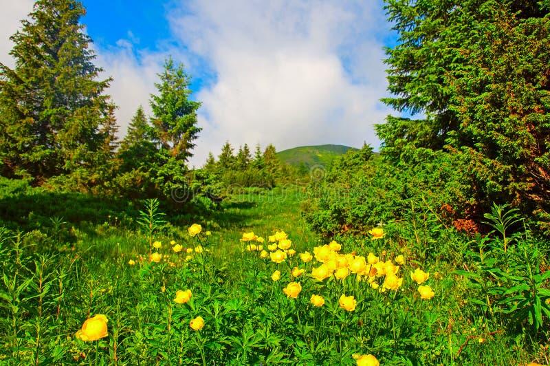 Fleurs jaunes magiques sur la montagne d'été Ciel obscurci excessif photo stock