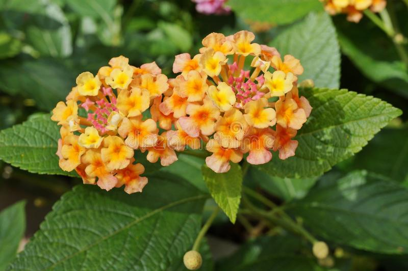 Download Fleurs Jaunes, Oranges Et Roses De Lantana Image stock , Image du  nature,