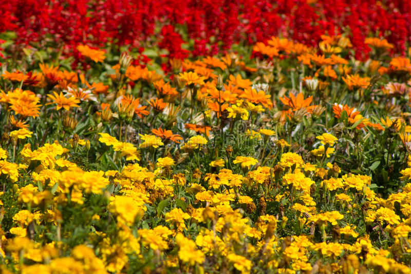Download Fleurs Jaunes, Oranges Et Rouges De Pré Sauvage , Image stock ,  Image du