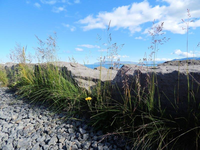 Fleurs jaunes par le rivage islandais photo libre de droits