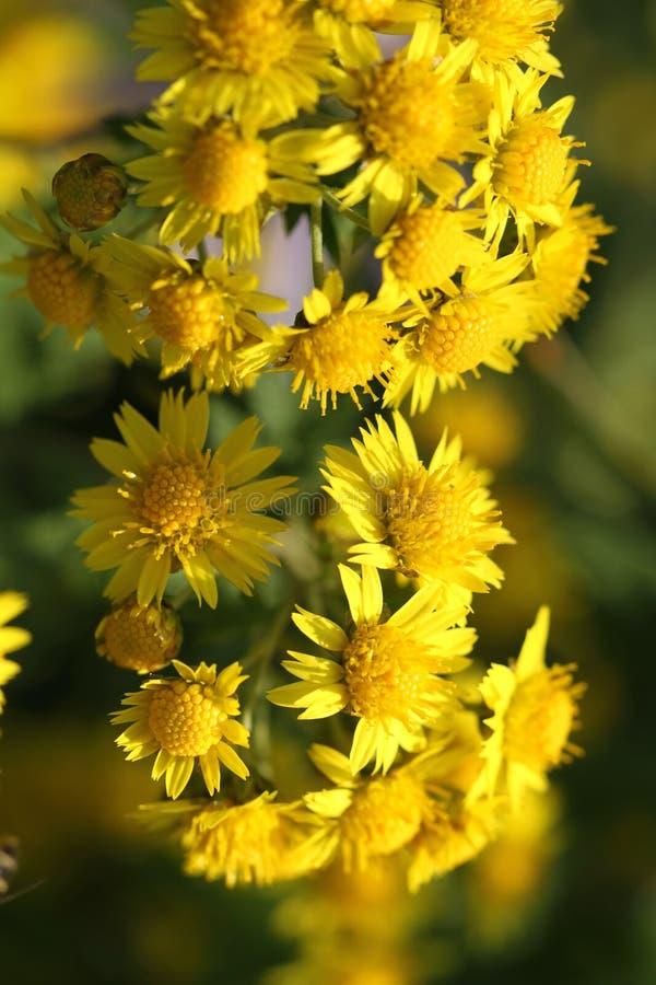 Fleurs jaunes sauvages de chrysanthème en automne pendant le matin image libre de droits