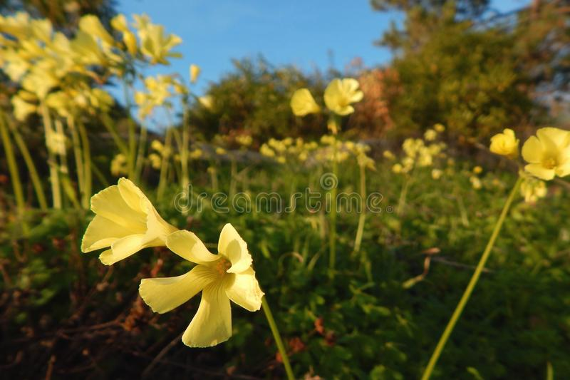 Fleurs jaunes sauvages se déplaçant avec le vent côtier image stock