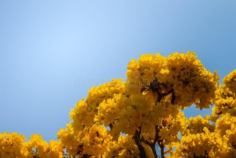 Fleurs jaunes sur l'arbre de trompette argenté (aurea de Tabebuia) avec le fond de ciel bleu et l'espace de copie pour le texte L images libres de droits