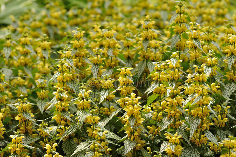 Fleurs jaunes sur l'archange jaune varié photo libre de droits