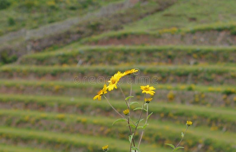 Fleurs jaunes sur la colline photo libre de droits