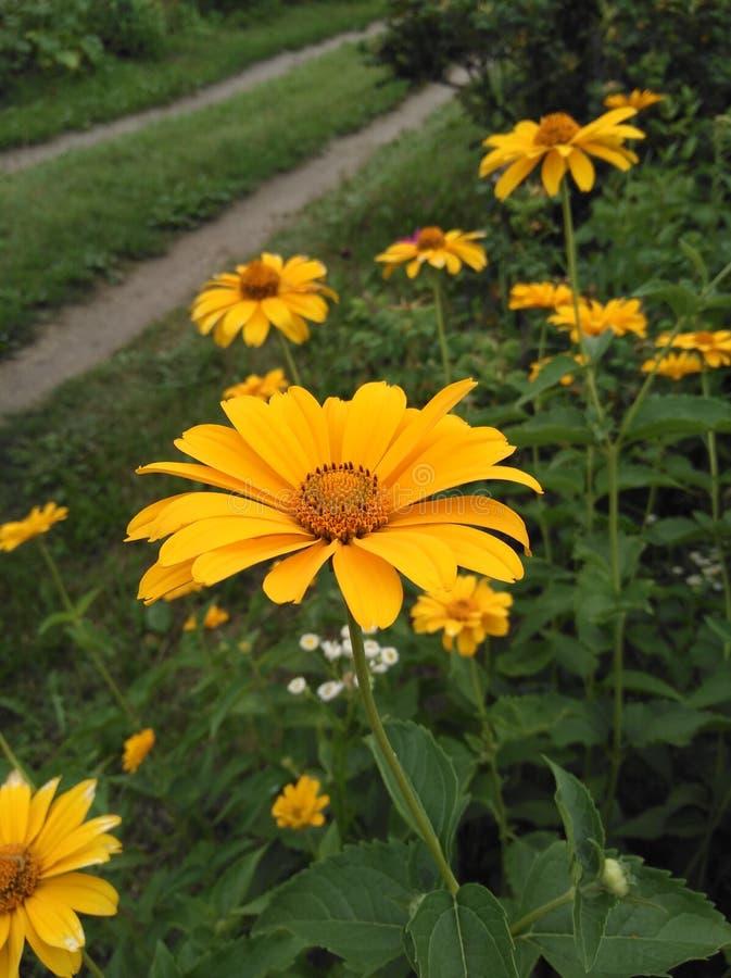 Fleurs jaunes sur le fond d'une route de village images stock