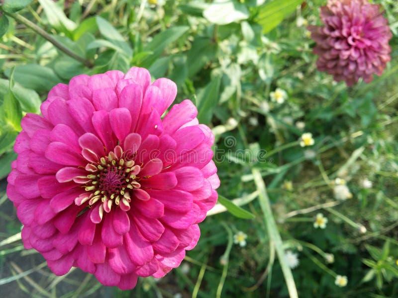 Download Fleurs jumelles roses photo stock. Image du macro, rouge - 45367748
