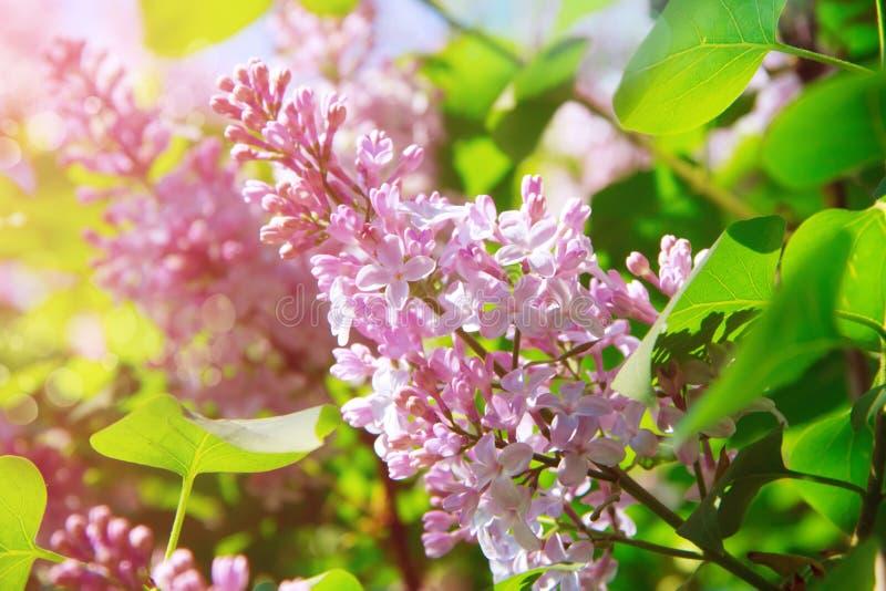 Fleurs lilas photos libres de droits