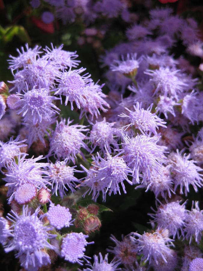 Fleurs lilas photo stock