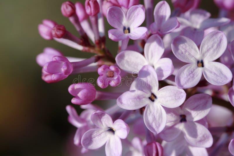 Download Fleurs lilas photo stock. Image du bourgeonnement, fleur - 732646