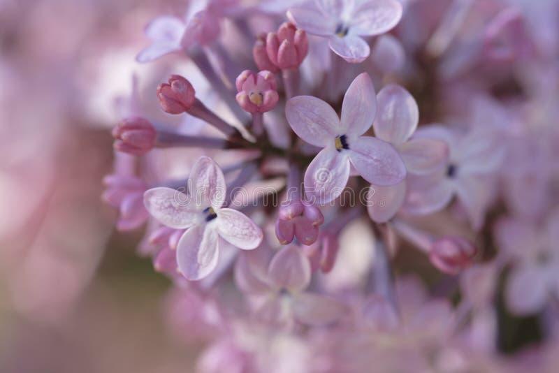 Download Fleurs lilas photo stock. Image du centrale, rose, lilas - 732648