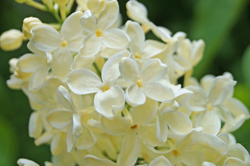 Fleurs lilas blanches, jaunâtres et verdâtres sur une branche photographie stock