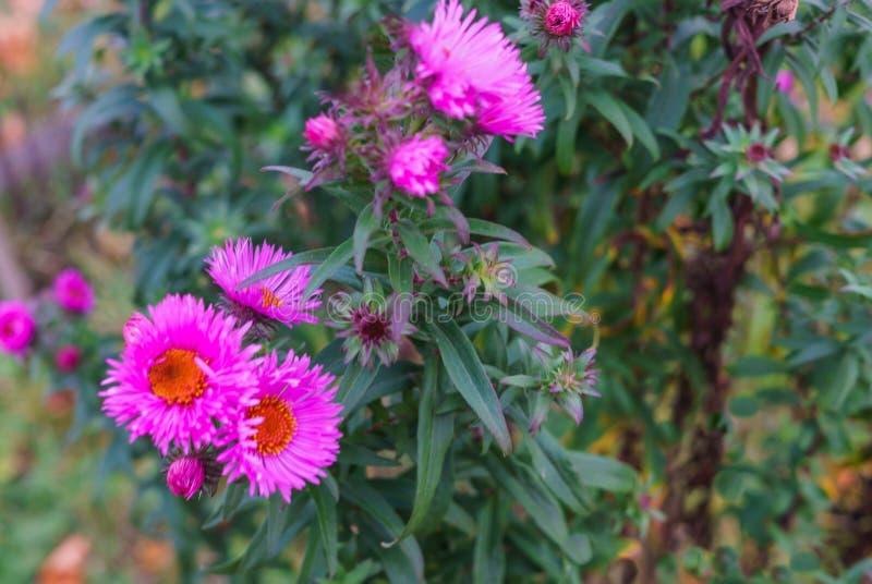 Fleurs lilas d'automne, foyer mou Fond lumineux de fleur d'automne Fleur pourpre d'aster, fleurs bleues photo libre de droits
