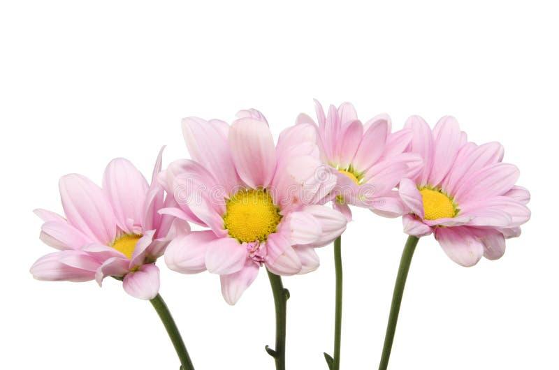 Fleurs lilas de chrysanthème images libres de droits