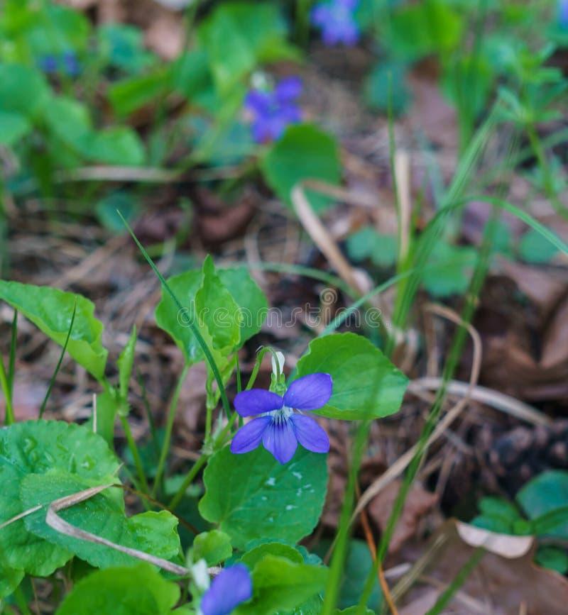 Fleurs lilas de la violette de for?t tricolore apr?s pluie images stock