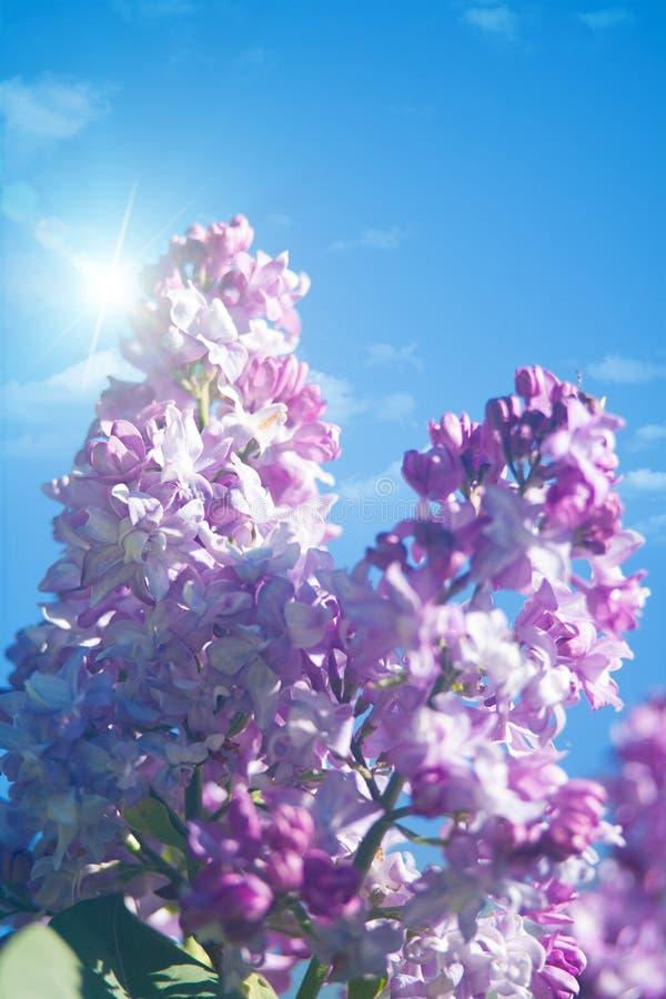 Fleurs lilas sous les cieux bleus images stock