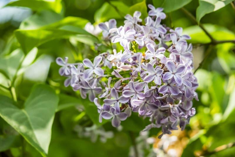 fleurs lilas sur des branches d'arbre et des feuilles vertes en nature photographie stock