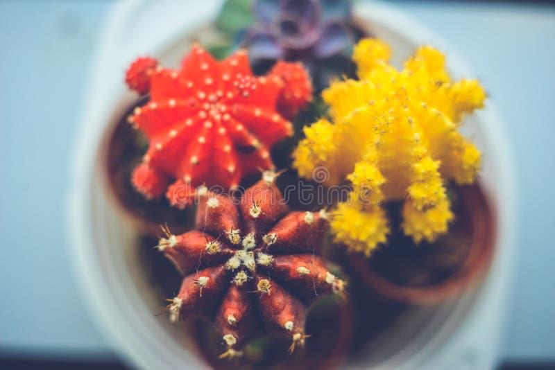Fleurs lumineuses de cactus d'intens de bureau images stock